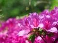 处处是盛开的杜鹃花
