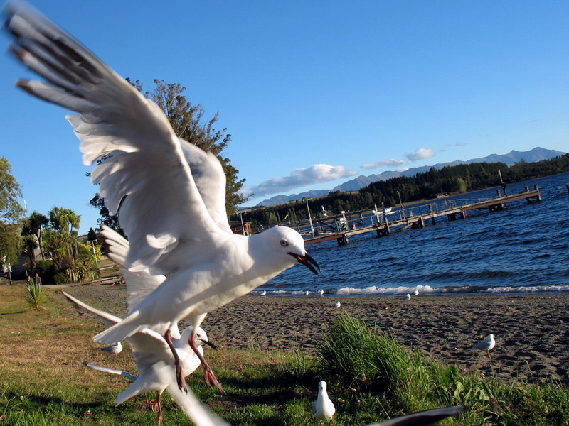Lake_Te_Anau_Bird.jpg