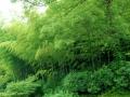 玉泉鱼跃竹林